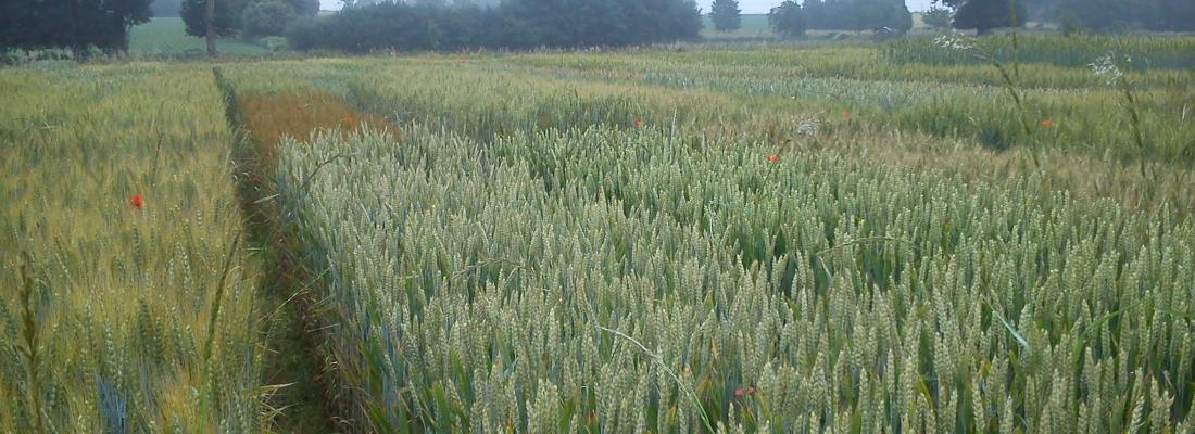 illustration INRAE pionnier dans la sélection de lignées pures de blé tendre bio