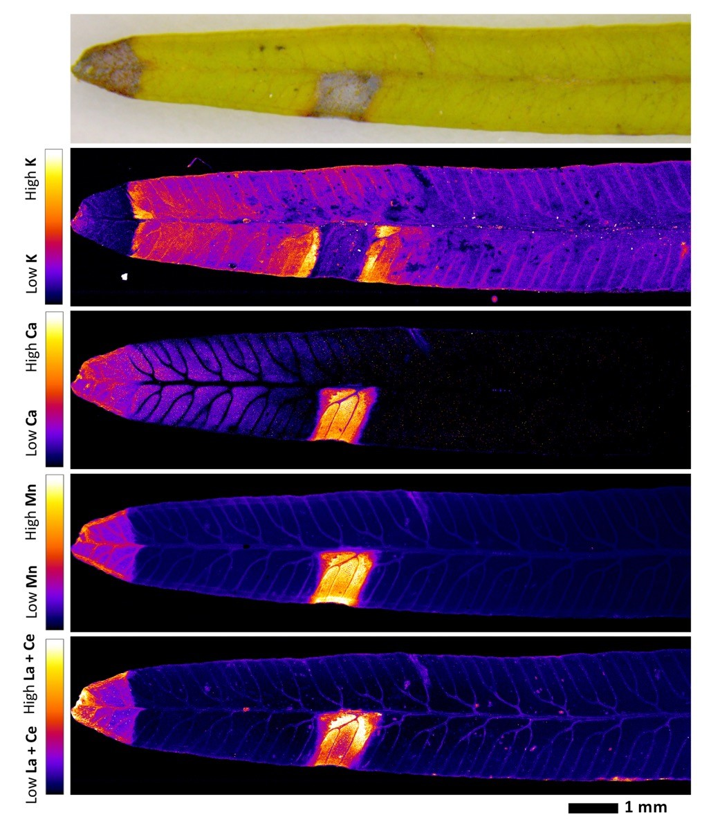 Image d'extrémités de feuilles de Dicranopteris linearis obtenue grâce au synchrotron
