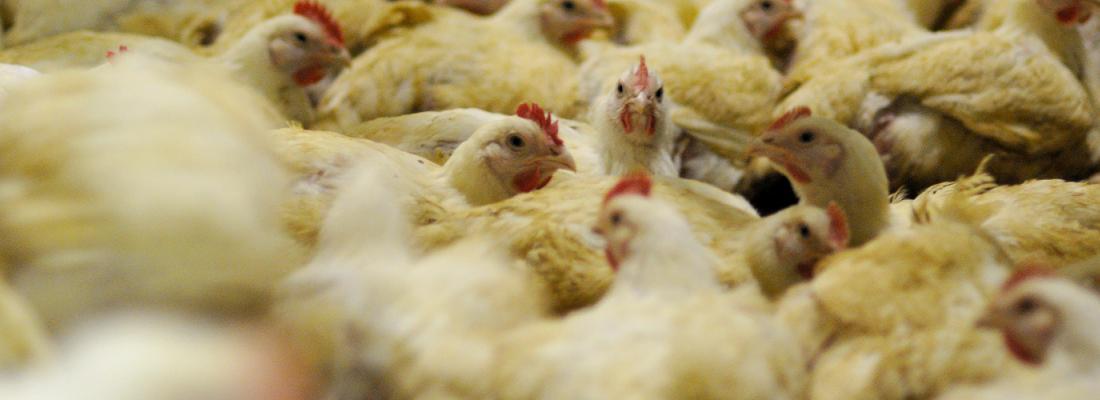 illustration Comprendre et gérer les épidémies dans les élevages