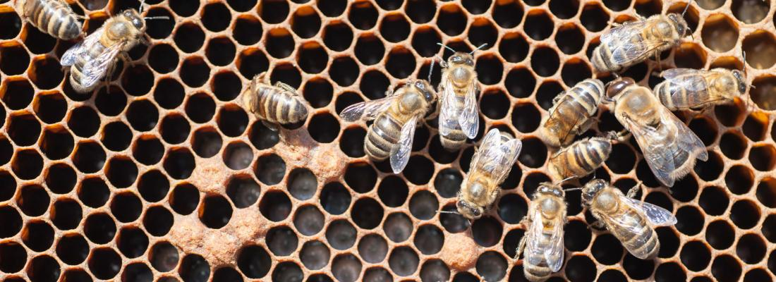 illustration Hygienic honey bees are more resistant to destructive parasite