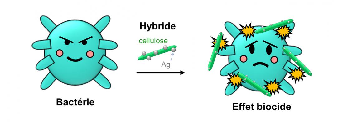 illustration Quand la cellulose s'attaque aux bactéries