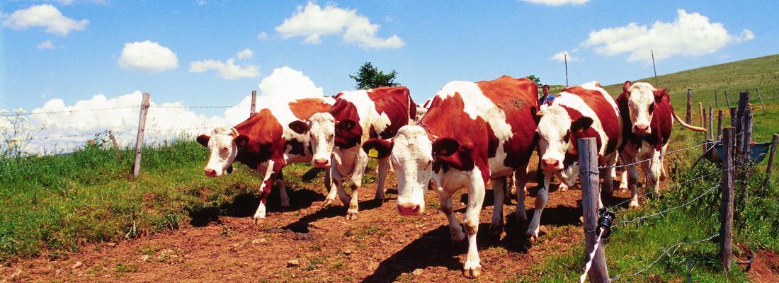 illustration Evolution du travail des salariés permanents dans des exploitations d'élevage laitier