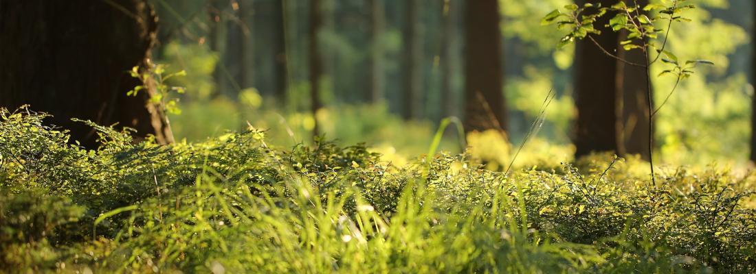 illustration A plant-fungi partnership at the origin of terrestrial vegetation