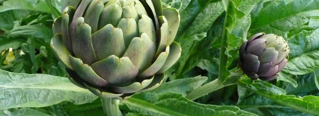 illustration Bénéfices métaboliques et anti-inflammatoires de feuilles d'artichaut