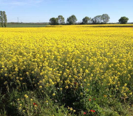 Champ de colza dans un paysage agricole de la Zone Atelier Plaine & Val de Sèvre