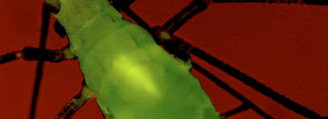 illustration Plant health: preventing virus transmission by aphids