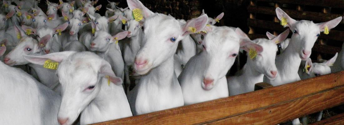 illustration The olfactory secretome varies according to season in female sheep and goat