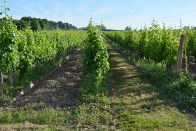 2016-07-07-HG-Marcillac-vignes (1) légende : vignes dans la région du Blayais Copyright F. Macary - Irstea