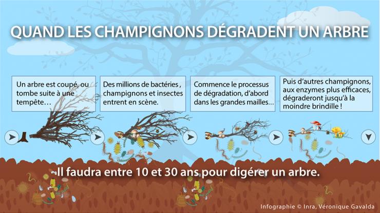 infographie cycle de dégradation d'un arbre par les champignons et les microorganismes
