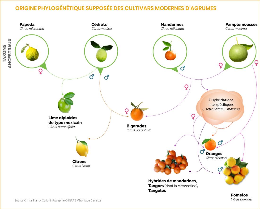 Origines phylogénétiques des agrumes
