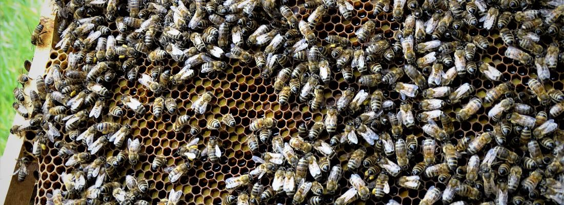 illustration Selection for varroa-resistant bee populations