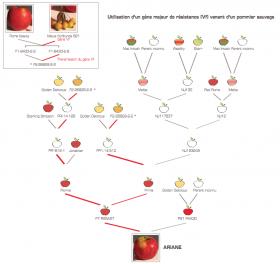 Généalogie de la pomme Ariane