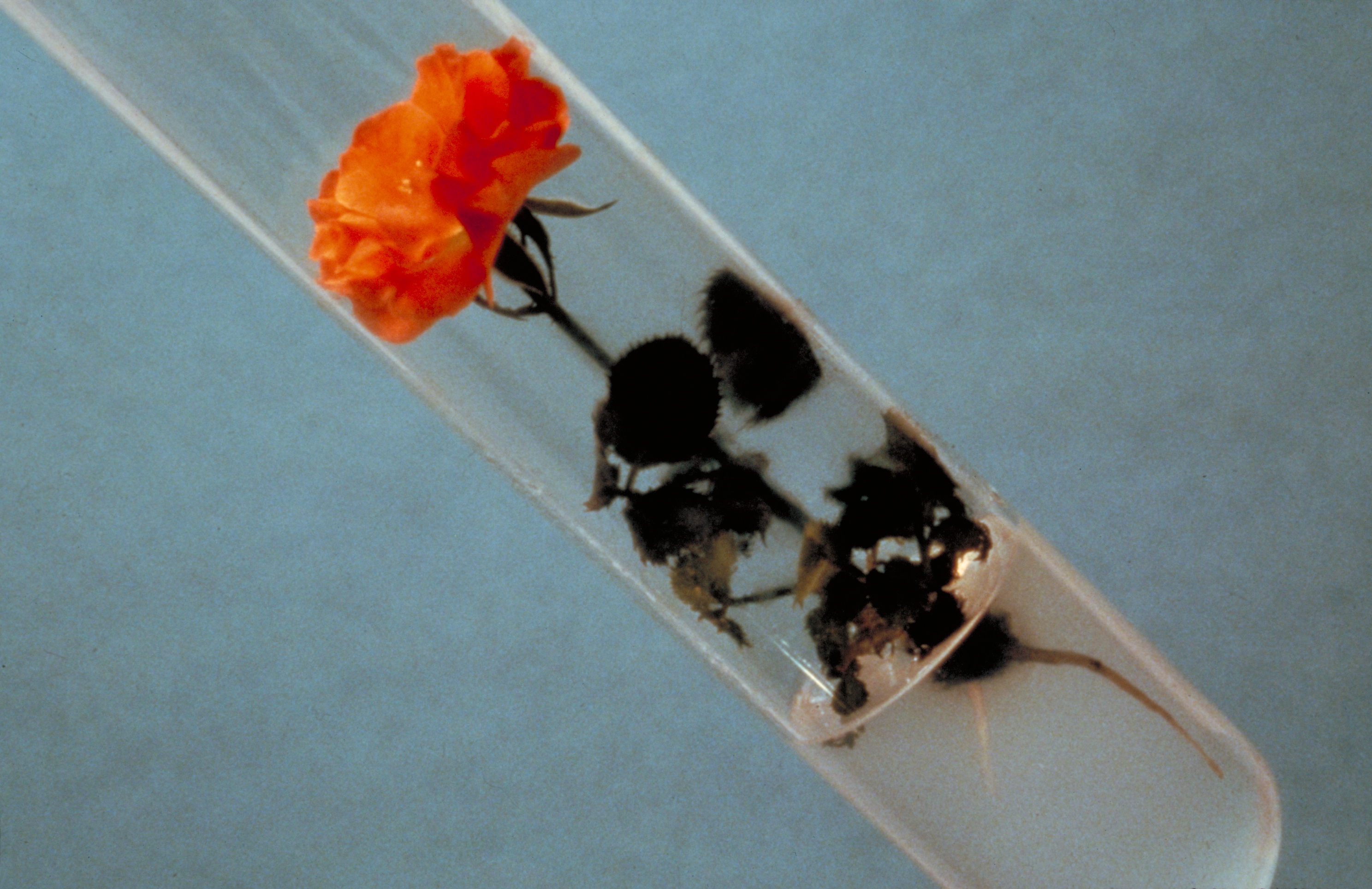 Rose en culture in vitro