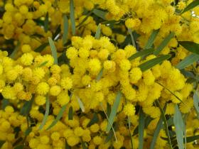 Mimosa in bloom on the archaeological site of Volubilis (Morocco)