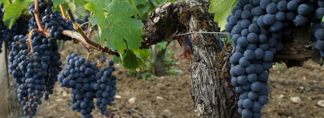 illustration Des systèmes de cultures viticoles agroécologiques testés à Montpellier