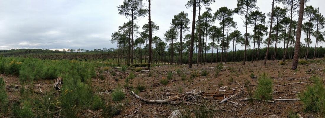 illustration Nouvelle Aquitaine : améliorer la réussite de la régénération naturelle du pin maritime en forêt dunaire