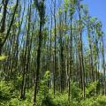 Plantation de frênes localisée dans un massif forestier avec présence importante de frênes, après 8 ans de présence de la chalarose : aucun évitement. (Champenoux en 2018)