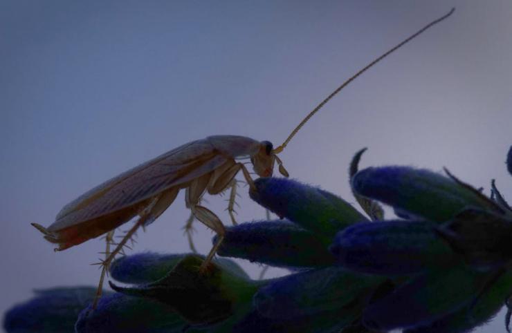 La blatte Ectobius est attirée par les matières organiques en décomposition et l'humidité, mais résiste peu aux environnements secs.
