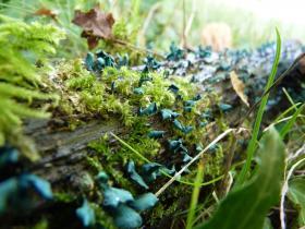 Chlorociboria aeruginascsens. Champignon, photo pour le dossier Voyage au royaume des champignons