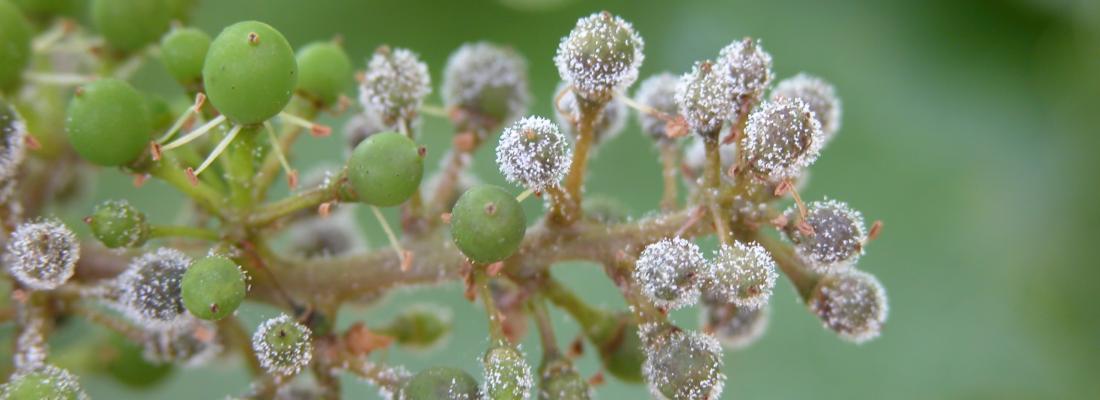 illustration Comment le mildiou de la vigne a envahi les vignobles : retour sur son voyage depuis l'Amérique du Nord