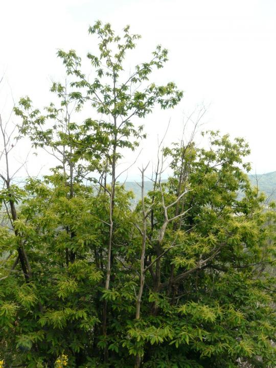 Symptôme de dépérissement de châtaignier causé par Phytophthora cinnamomi : défoliation de l'arbre central, réduction de la taille des feuilles, tiges mortes.
