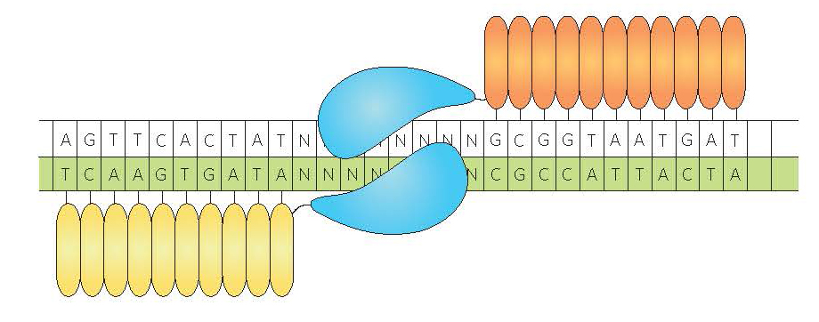 Schéma nucléase de type TALEN