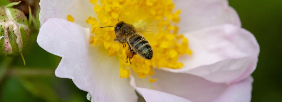 illustration Le pollen réduit la sensibilité des abeilles aux pesticides