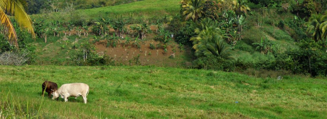 illustration Un déconfinement au goût amer pour la petite agriculture familiale guadeloupéenne