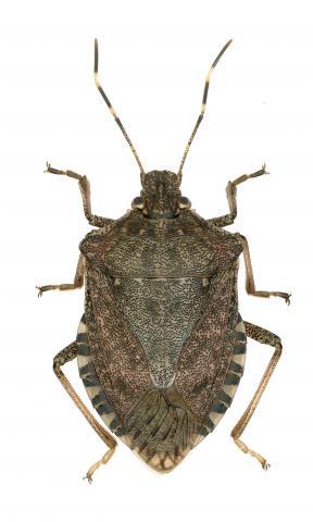 Punaise diabolique (Halyomorpha halys)