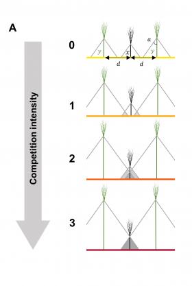 Figure illustrant la compétition du blé pour la lumière