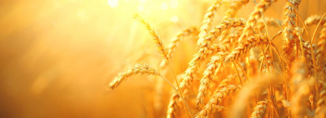 illustration L'origine des blés modernes révélée