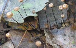 Marasmius rotula en forêt de Montfort sur Meu (35)