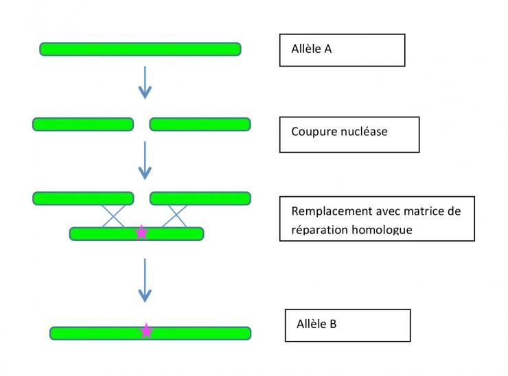 Schéma de remplacement d'un allèle