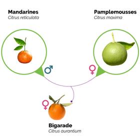 Extrait d'infographie sur les agrumes