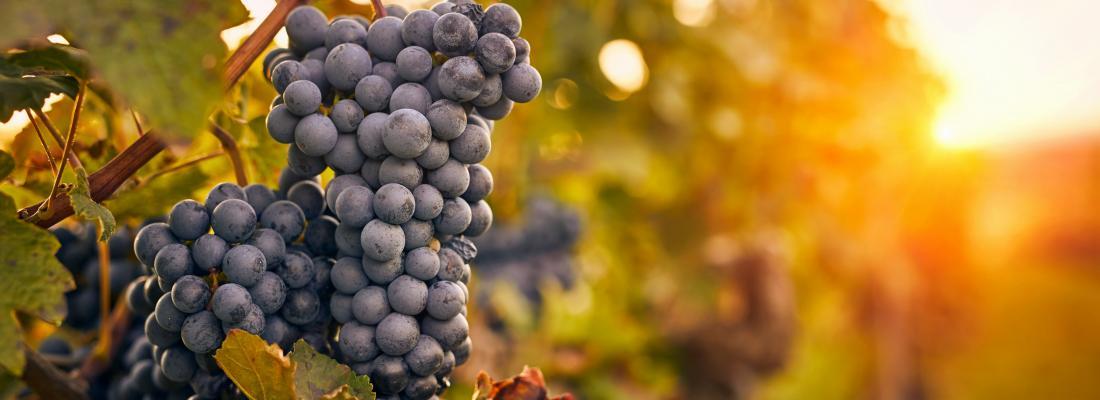 illustration  Pesticides en région viticole : comment accompagner la transition agroécologique?