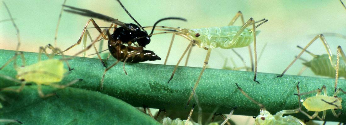 illustration Studying the parasitoid wasp genome to understand how they adapt to host defenses