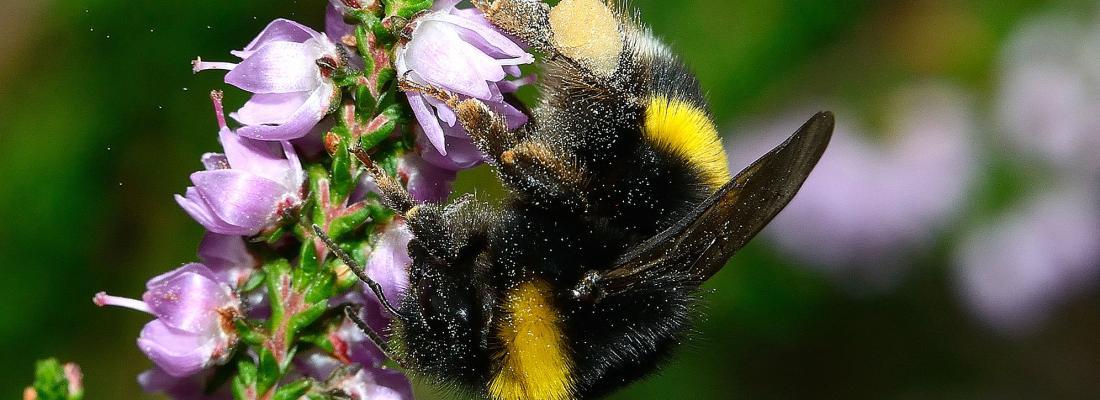 illustration Les codes-barres ADN, un outil pour mesurer l'impact de l'urbanisation sur la diversité des abeilles sauvages en Centre-Val de Loire