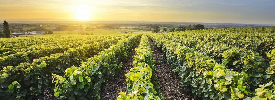 illustration La filière viticole a présenté au ministre sa stratégie d'adaptation au changement climatique