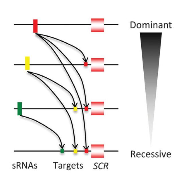 Figure of multiallelic dominant/recessive mechanism