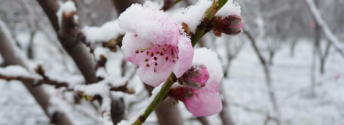illustration Quand les arbres fruitiers perdent le nord mais en subissent le froid !