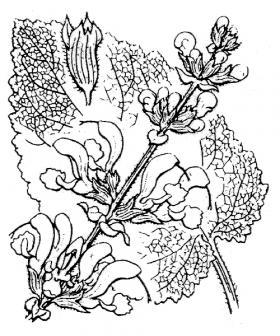 Salvia pratensis-Flore Abbé Coste