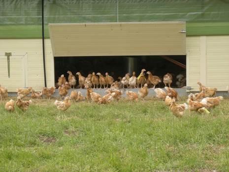 Poulets sur parcours biologiques