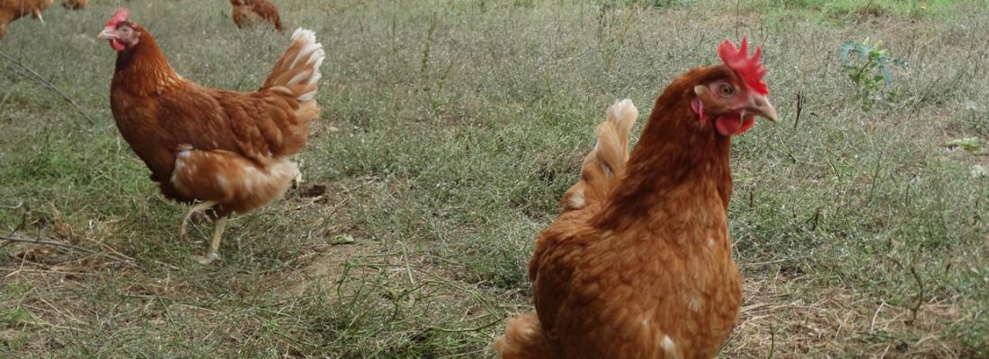 illustration Le déterminisme génétique de la ponte chez les poules : une clé pour accompagner la transition vers des élevages sans cages