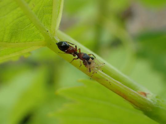 Spider, Leptorchestes sp. eating a leafhopper.