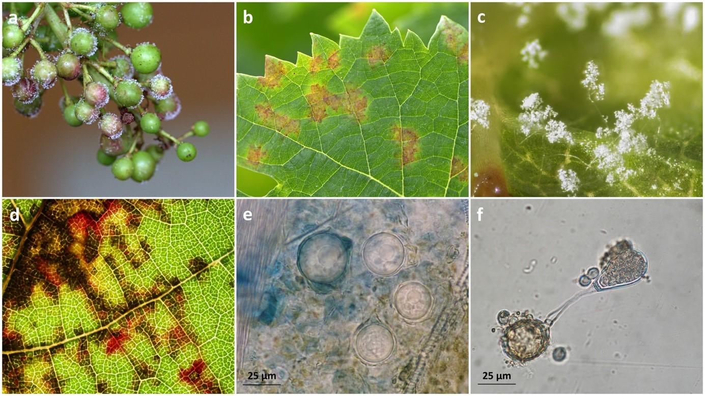 illustrations du cycle du mildiou de la vigne (Plasmopara viticola)