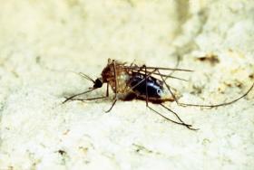Culex pipiens, moustique femelle