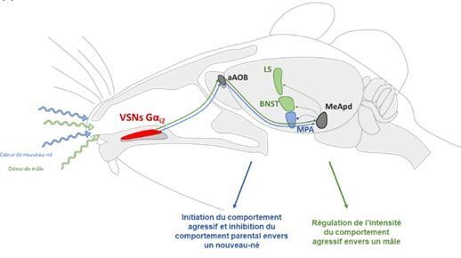 Contrôle par Gαi2 de l'équilibre entre agression territoriale et parentale chez la souris mâle.