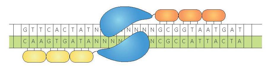 Nucléase à doigt de zinc