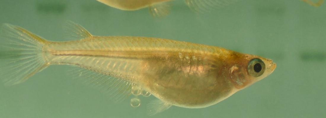 illustration Découverte d'une nouvelle fonction cellulaire chez les poissons : perspectives pour l'aquaculture et la recherche médicale