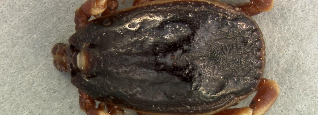 illustration De nouvelles espèces de tiques et de pathogènes trouvés en France
